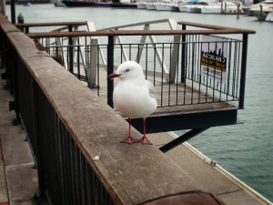 A New Zealand sea gull! His tail actually actually has spots but I didn't really get a picture of them :(